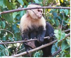 Monkey in Manuel Antonio NP